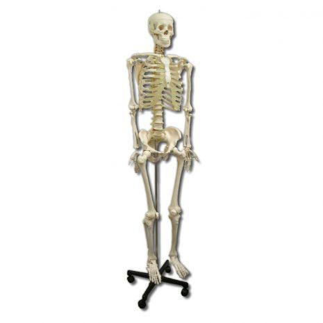 full_skeleton